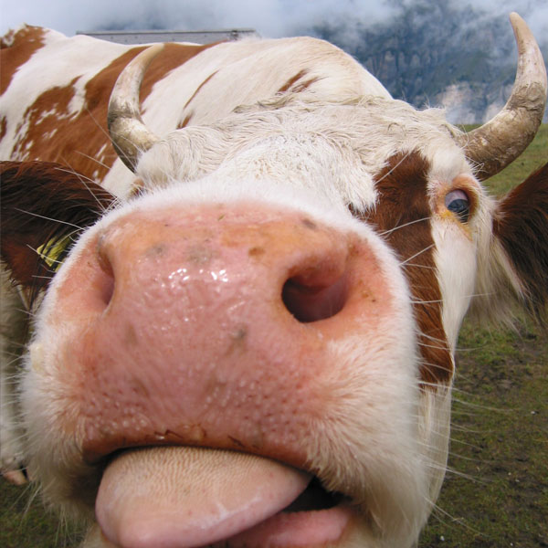 Cow giving a raspberry...probably.